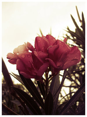 Oleander_by_greenspoon